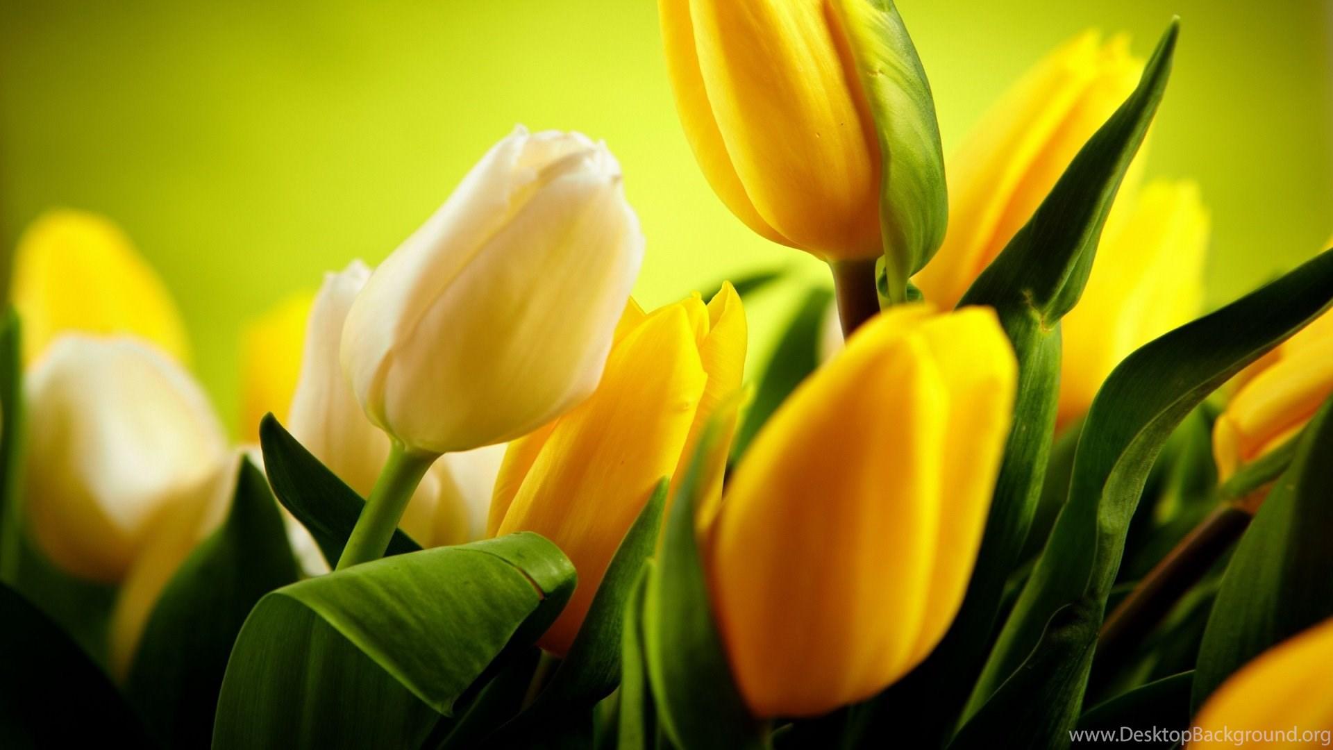 876295 high resolution beautiful flower tulip desktop wallpapers hd 9