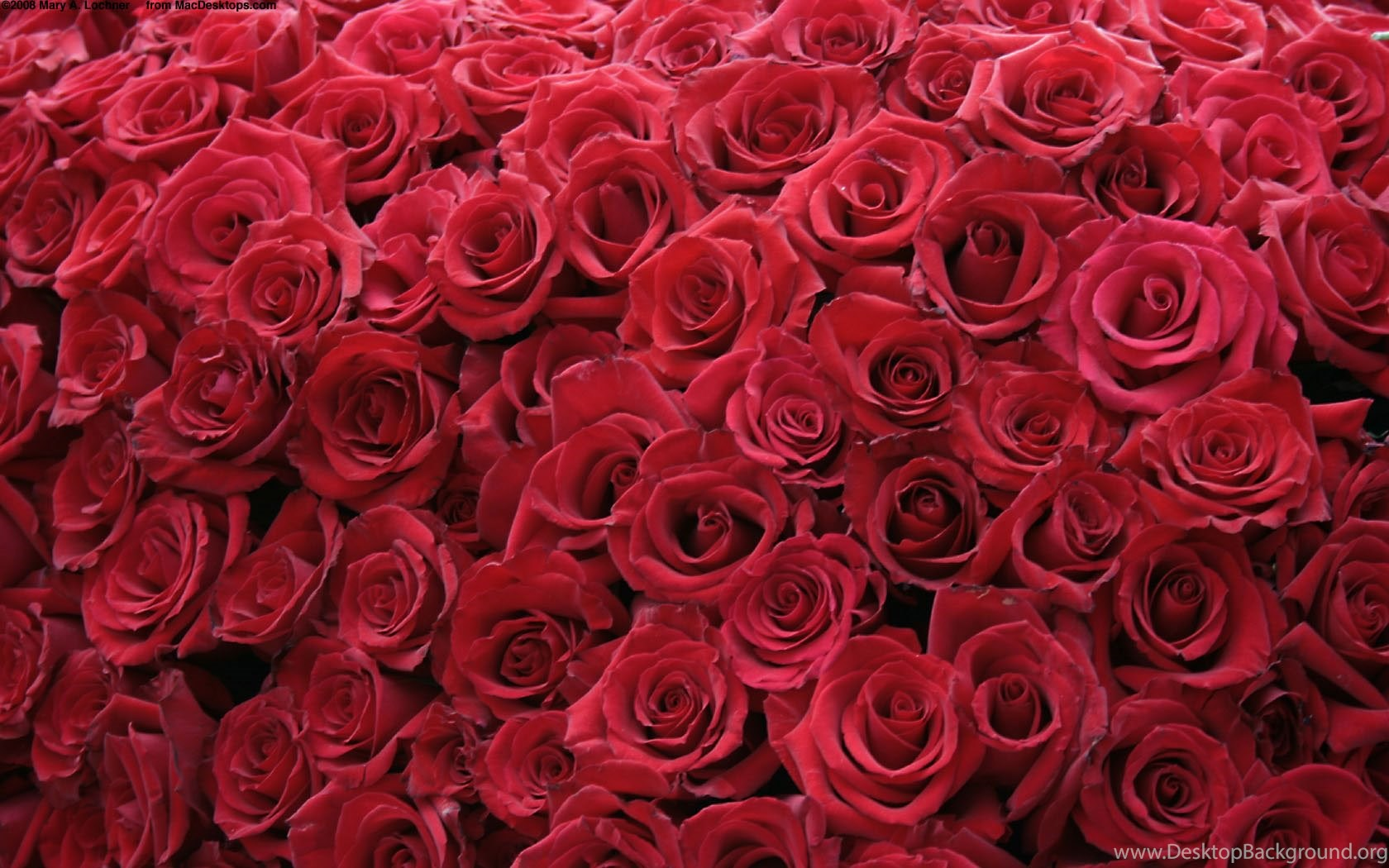 Red Rose Wallpapers Desktop Background