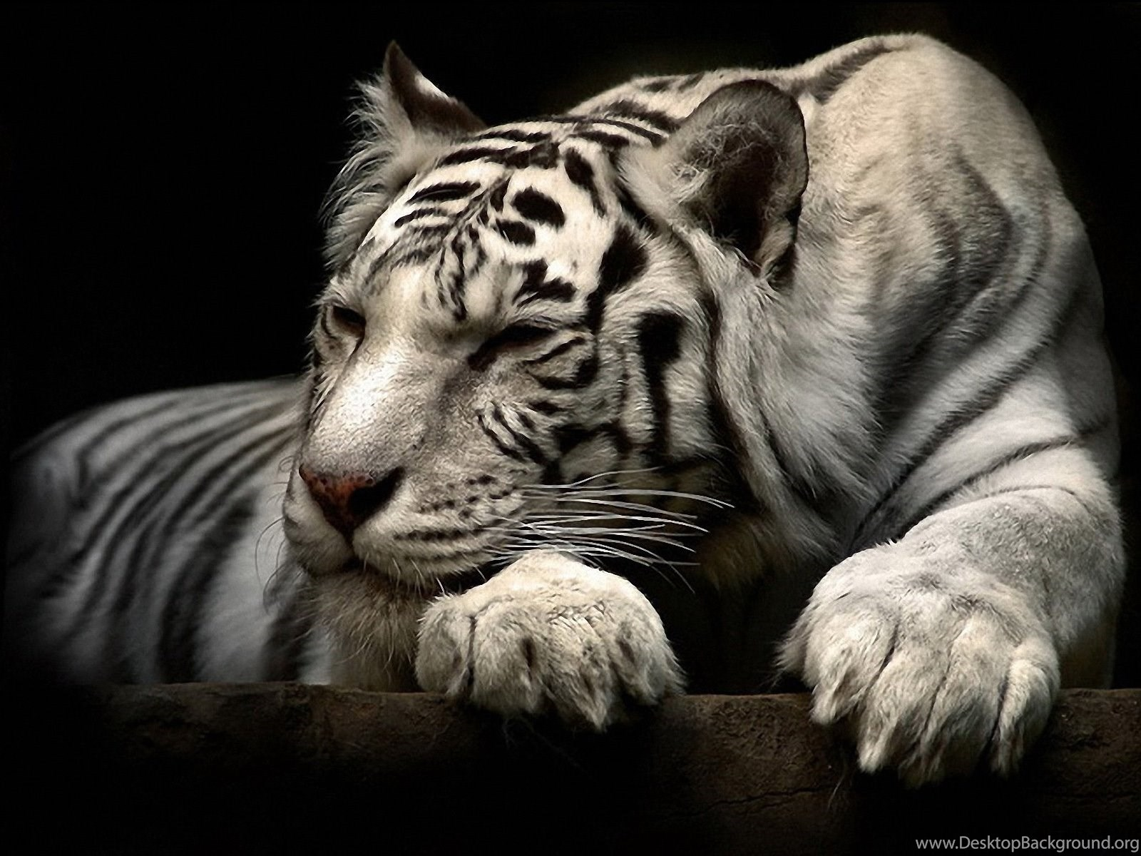 Hd Sleeping White Tiger Wallpapers Full Size Hirewallpapers 6892
