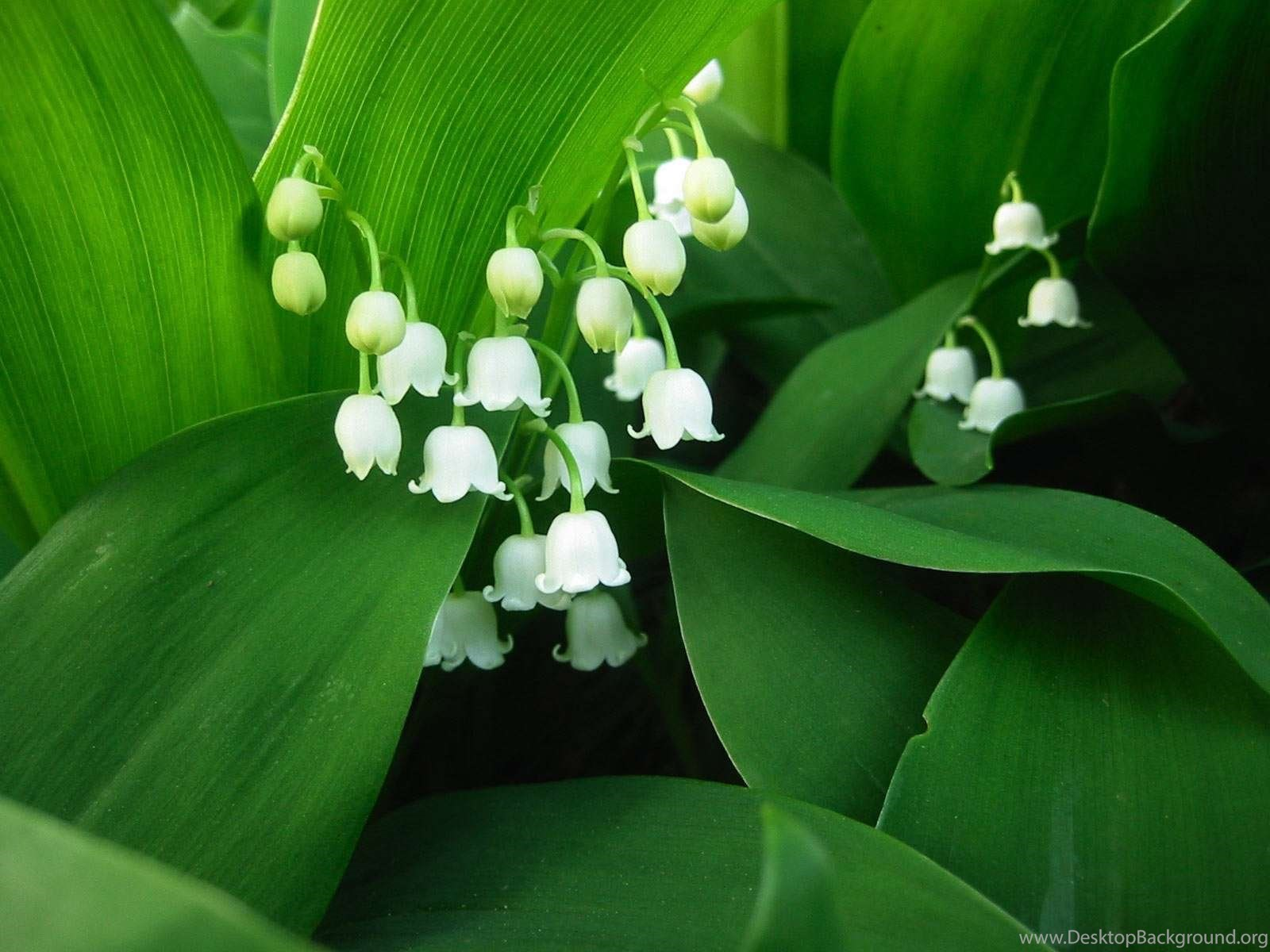 Lily Of The Valley Free Wallpapers In Hd For Desktop Desktop