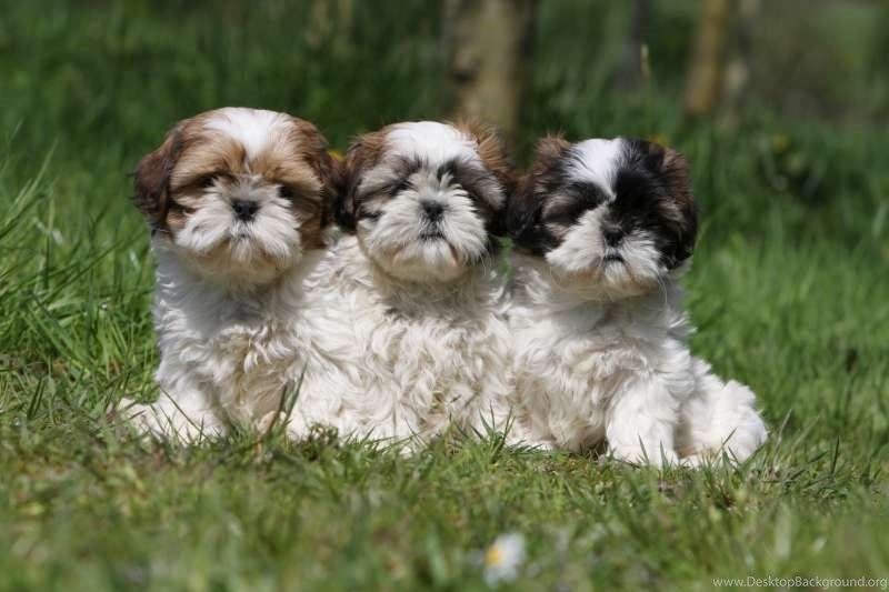 Shih Tzu Puppies Cutest Dogs Backgrounds HD Free Images