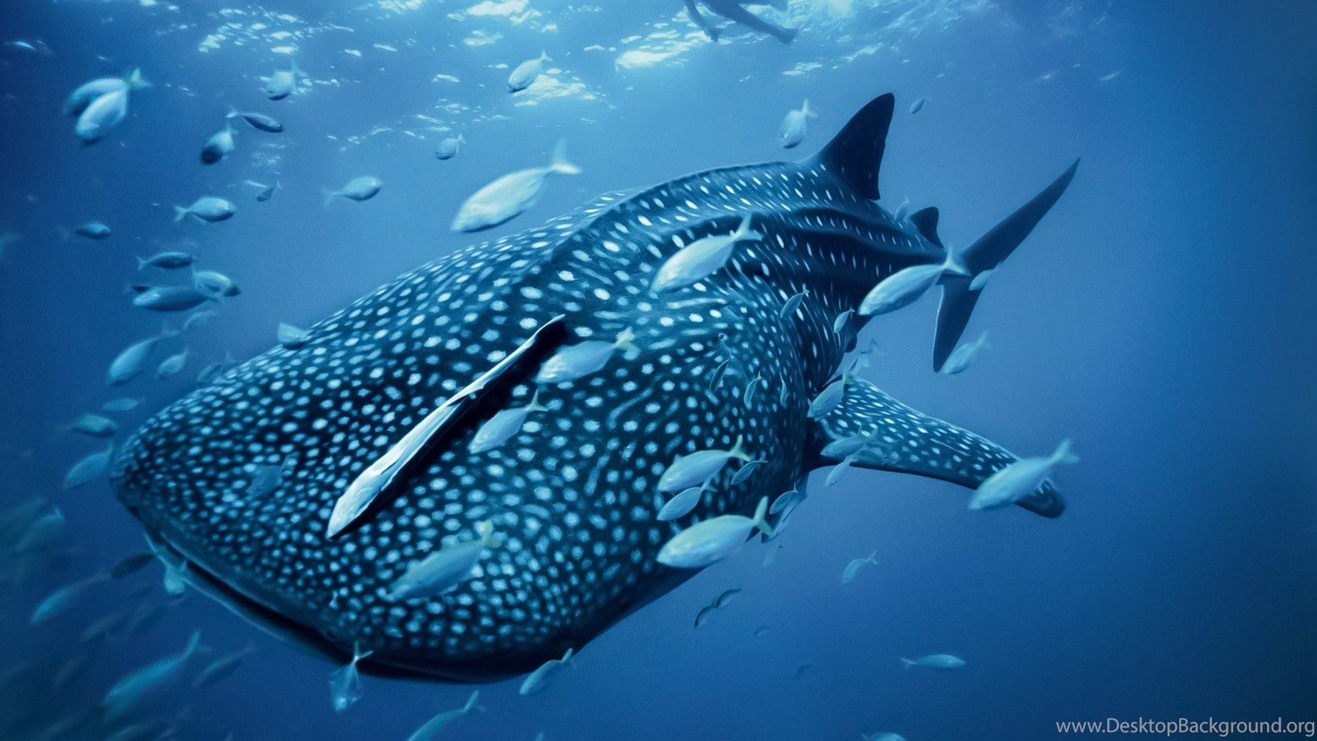 Whale Shark MAC OS X Mountain Lion HD Wallpapers 1920x1080