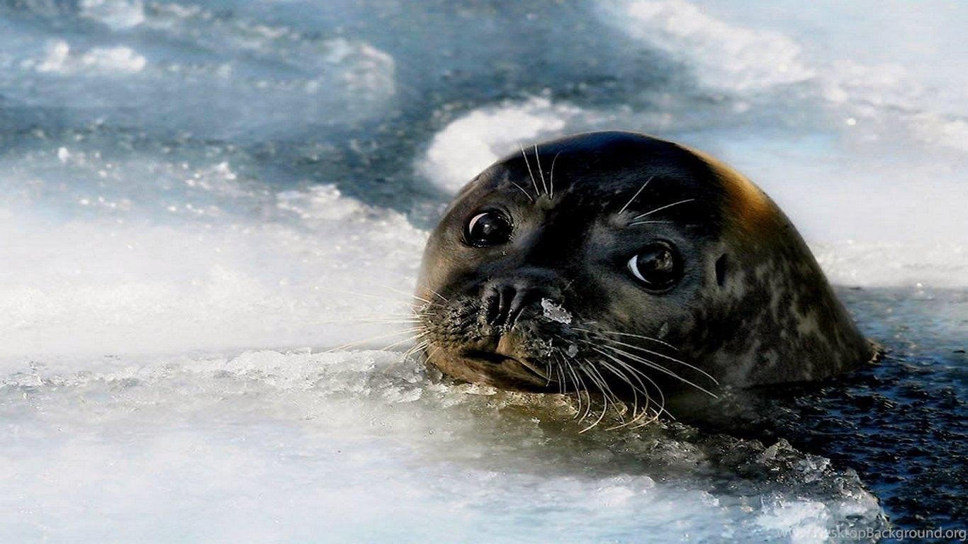 Cute Baby Seals 9361 Hd Wallpapers: Baby Seal ( Desktop Background