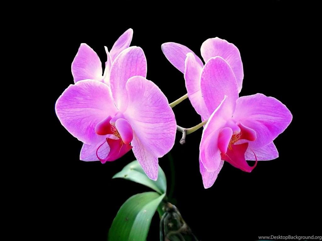 Black and pink flower wallpapers desktop background fullscreen mightylinksfo
