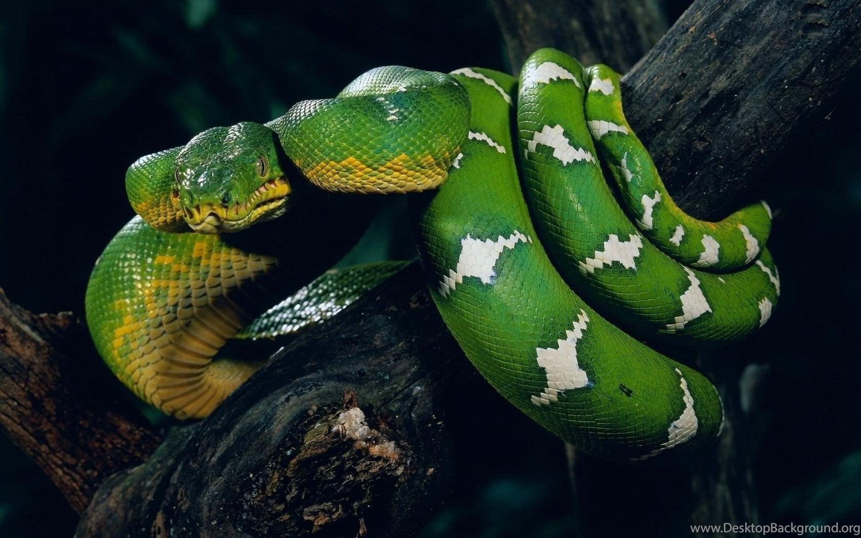 21 snake anaconda hd wallpapers free download green snake - Green snake hd wallpaper ...