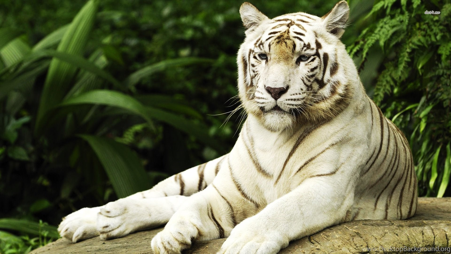 945309 white tiger images pics wallpapers 3d hd