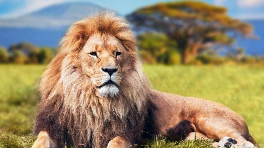African Lion Safari Close Up 4k Wallpapers Desktop Background