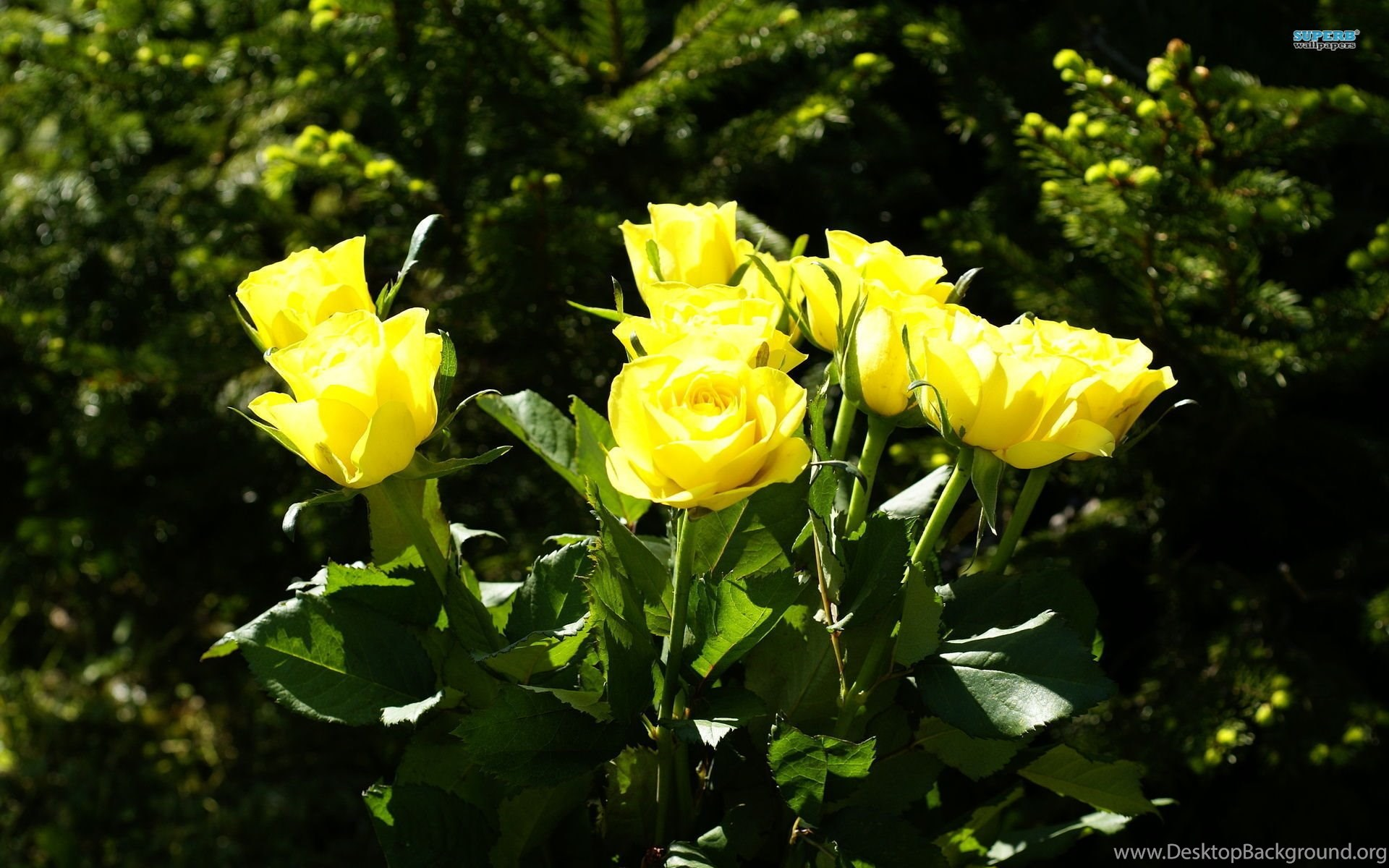 Yellow Rose Flowers Images Wallpapers Hd Base Desktop Background
