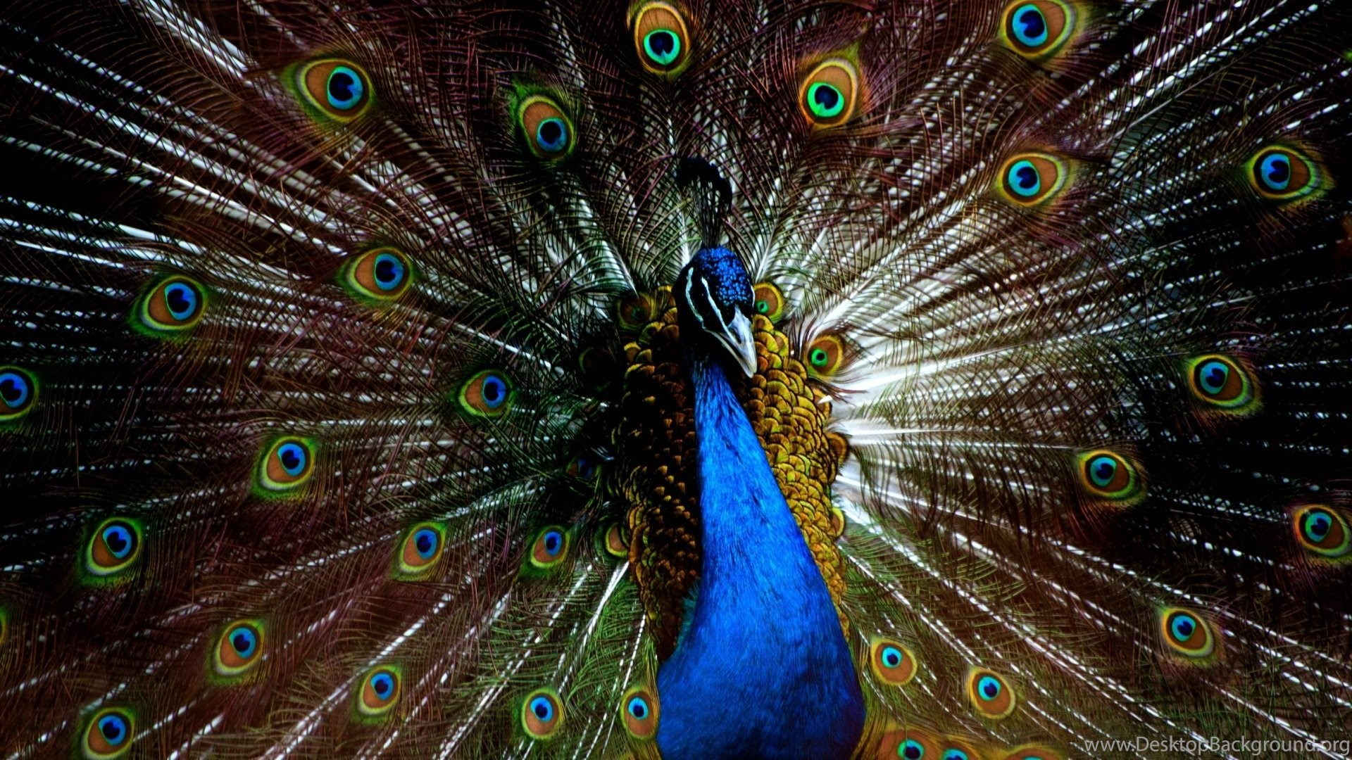 Peacock Feathers Wallpapers HD For Desktop Background