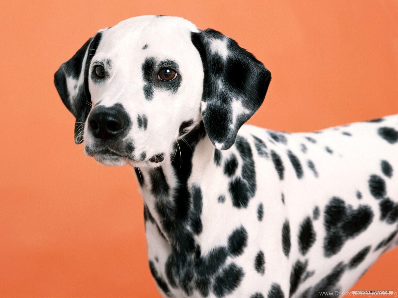 Dalmatian HD Wallpapers For Desktop Facts Temperament