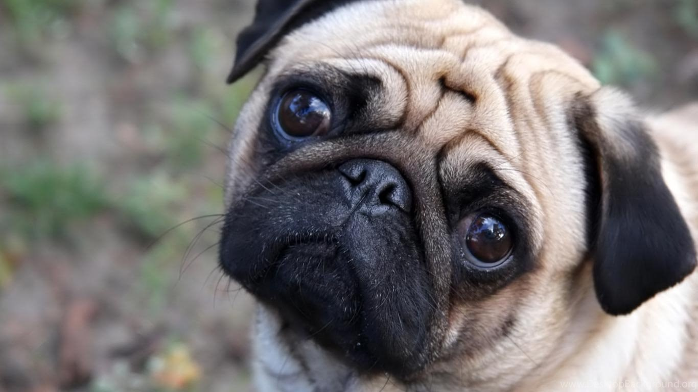 cute baby pugs wallpapers hd pug puppies wallpapers