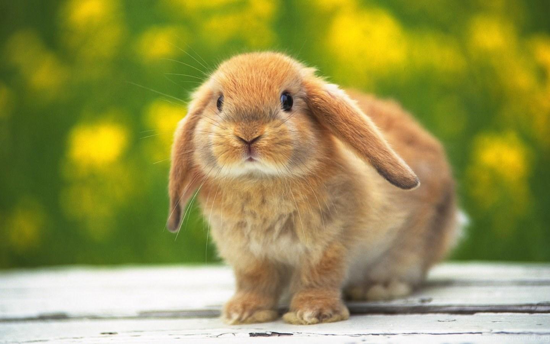 Awesome Bunny Backgrounds Desktop Background