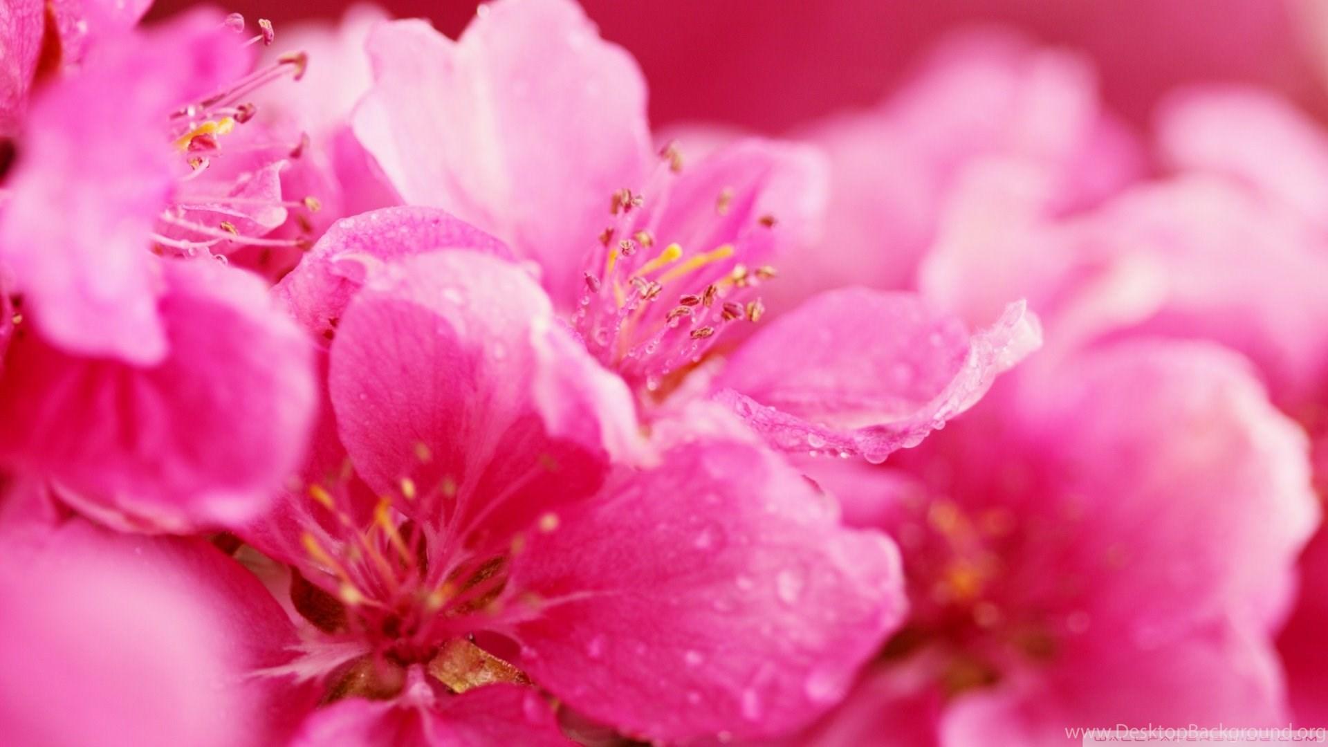 Pink flowers wallpapers desktop background popular mightylinksfo