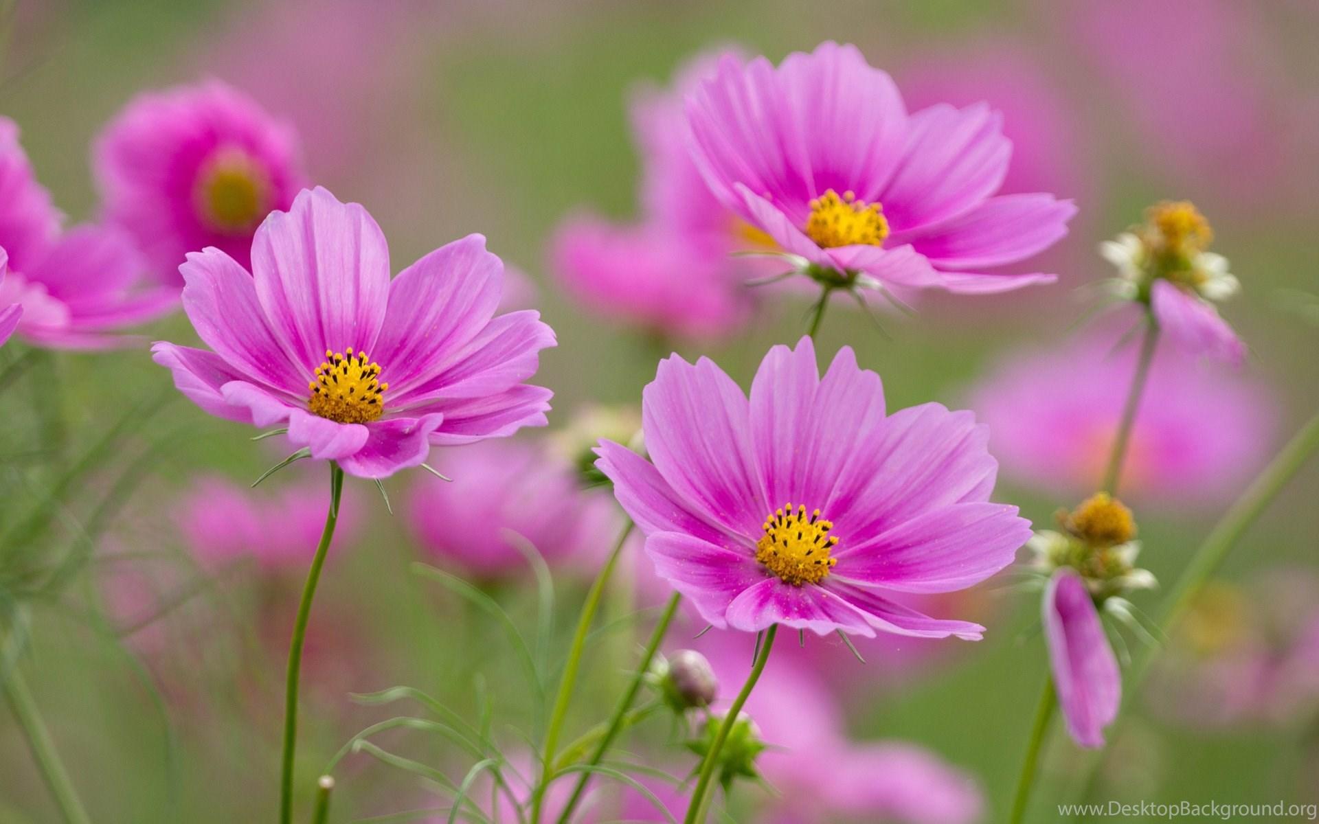 Lovely Pink Flowers Wideg Desktop Background
