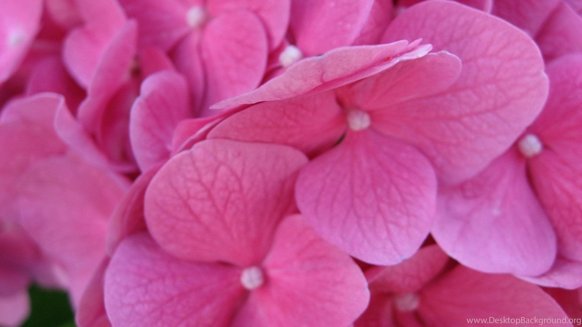 Pink Petals Wallpaper Backgrounds 1920x1080 1080p Hd