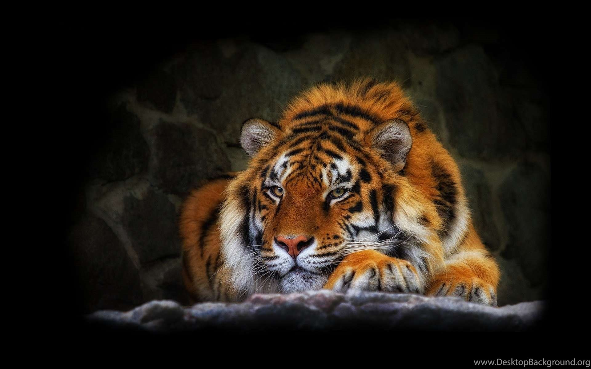 best tiger wallpapers ever hd wallpapers desktop background