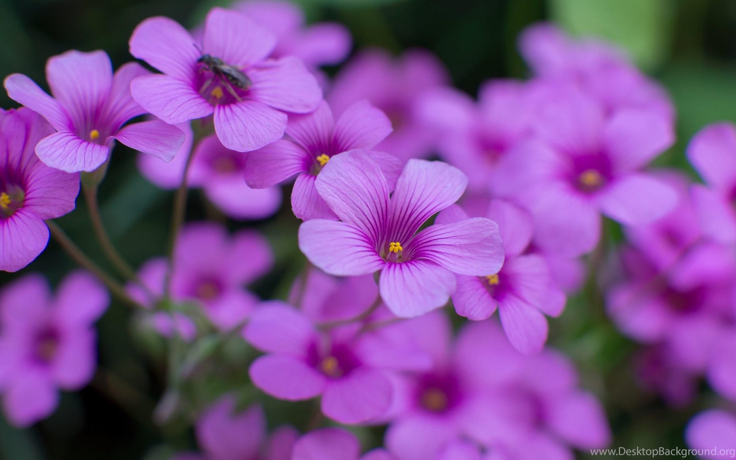 Oxalis beautiful flowers wallpapers hd download for desktop desktop original size 2678kb izmirmasajfo