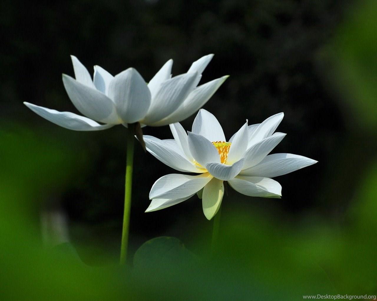Joan powder jade white lotus flower photography wallpapers widescreen mightylinksfo