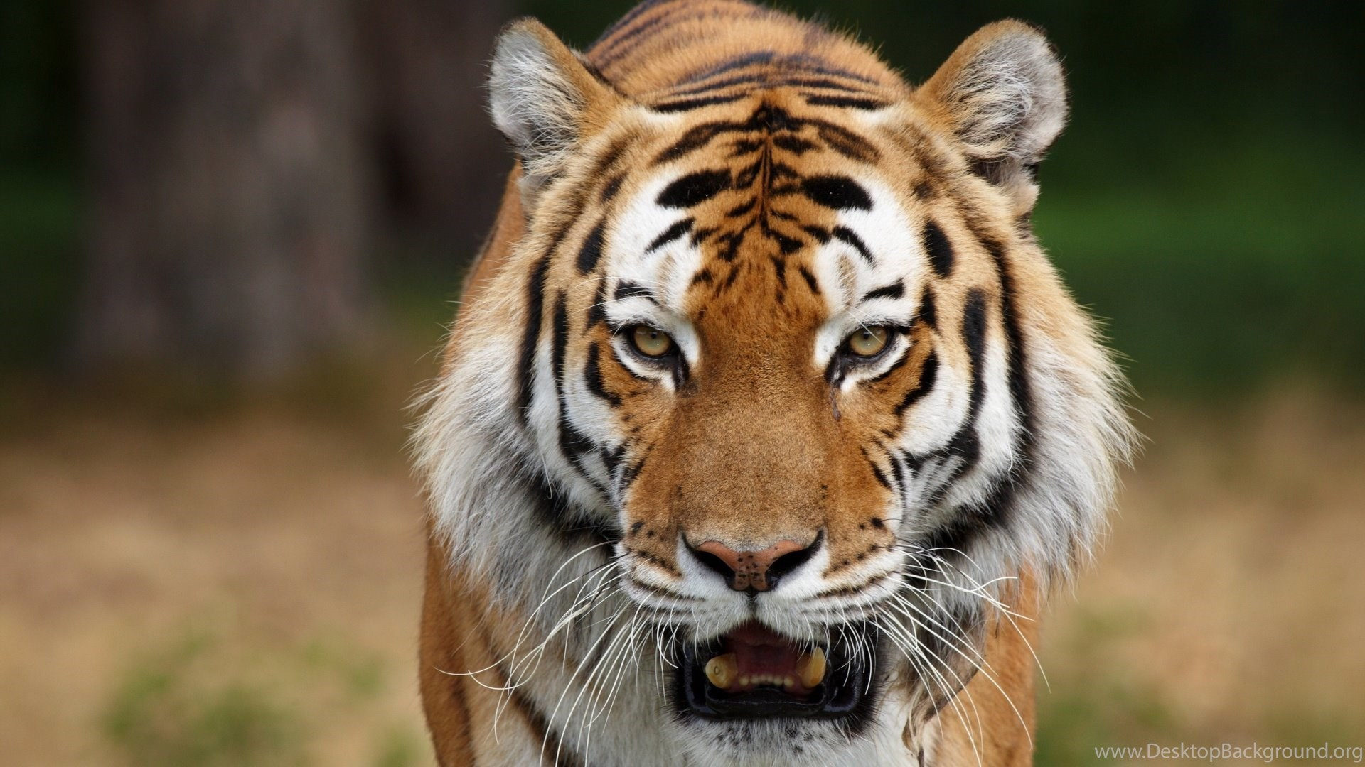 high resolution tiger wild wallpapers full size siwallpaperhd 15654