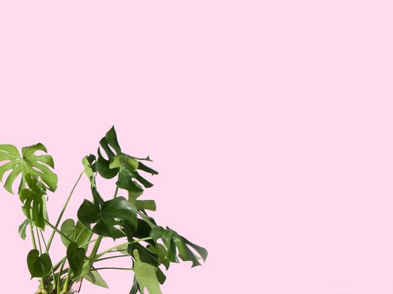 Monstera Plant Desktop Iphone Wallpapers From Gold Blog Desktop Background