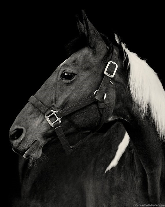 Paint Horse With Black Backgrounds Photograph By ApplesAndOats