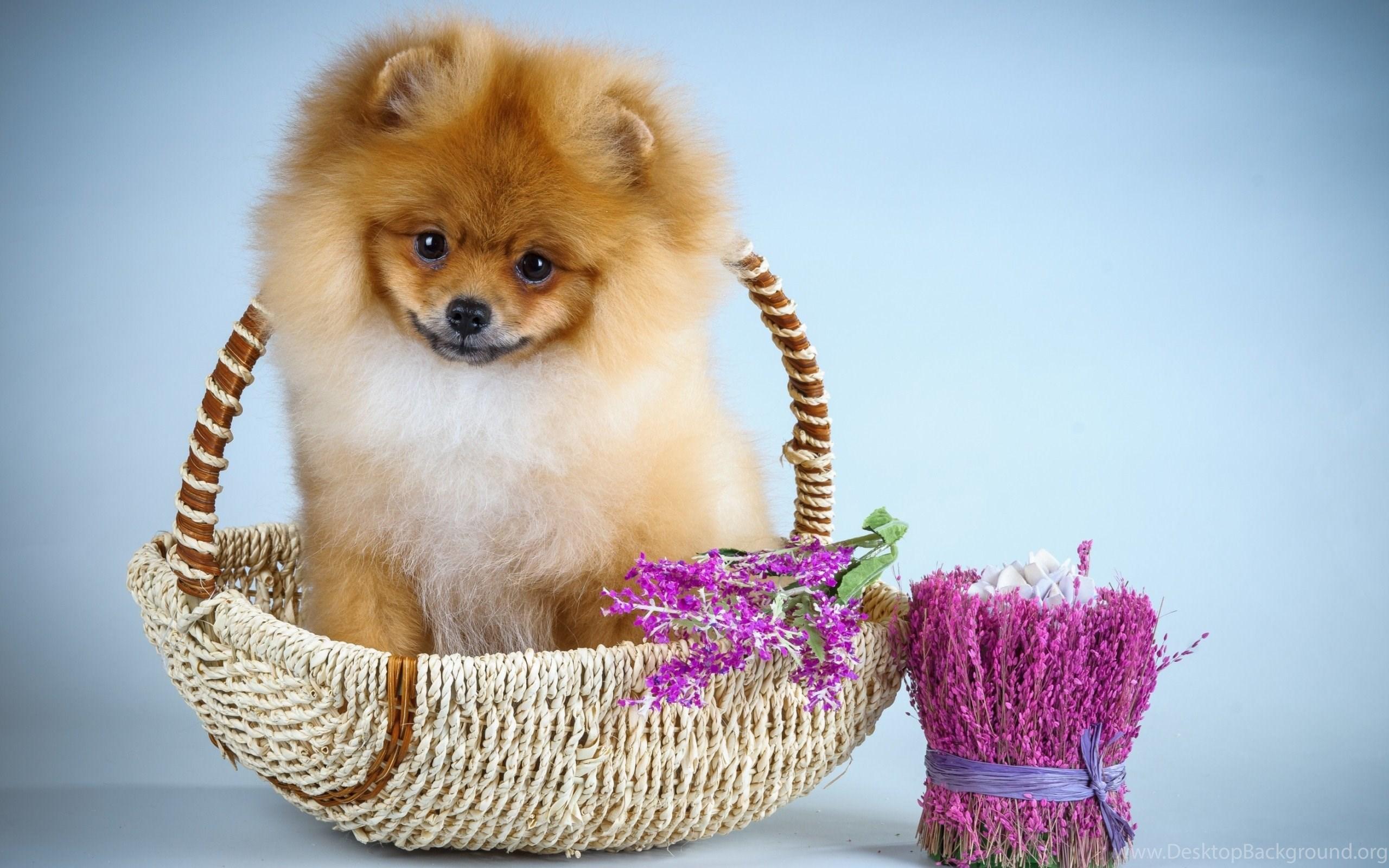 Dogs Cute Blue Pink Flower Dog Sweet Animal Pomeranian Puppy