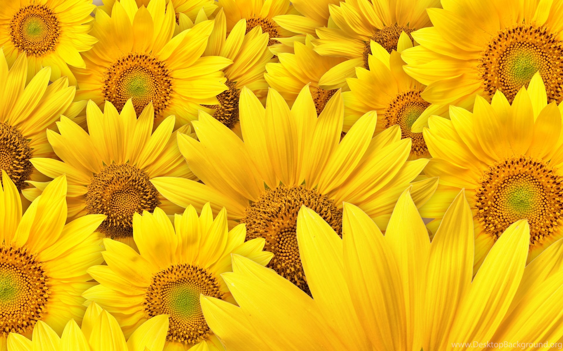 sunflower wallpapers sunflowers wallpapers free new latest desktop