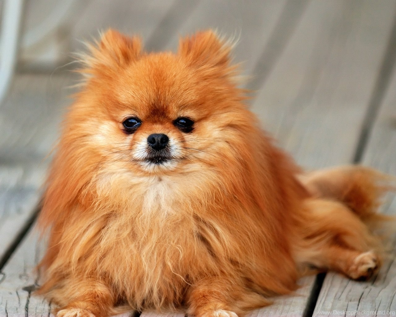 Pomeranian All Small Dogs Wallpapers 18774613 Fanpop Petpictures