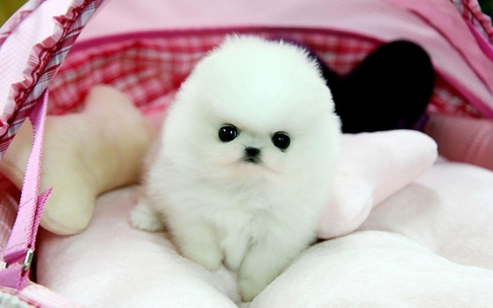 Teacup Pomeranian Puppy Maggie Wallpaper Desktop Background