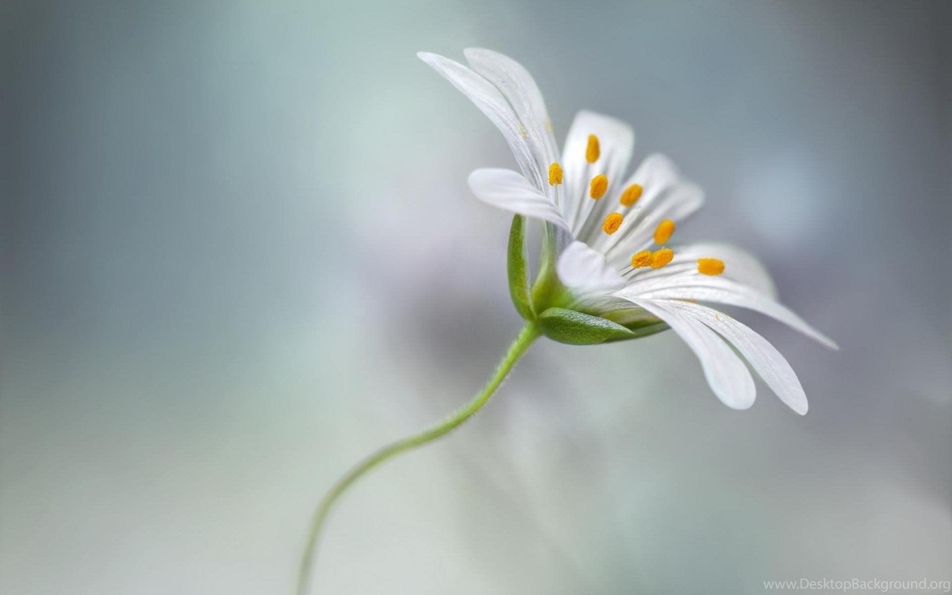 Single Flower Beauty HD Wallpapers For Desktop & Mobile