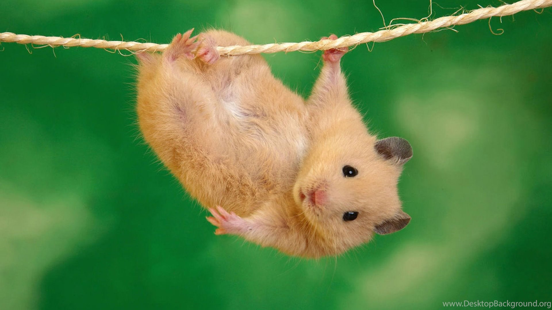hamsters interesting wallpaper, hd desktop wallpapers desktop background