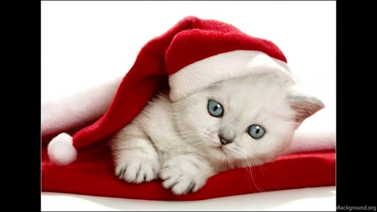 Cute White Kittens With Blue Eyes Wallpapers Part 1 Desktop Background